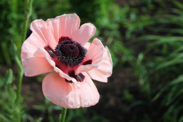 I love poppies. They're ethereal and vibrant at the same time. There's usually only a few days of them around here, but oh, I love those days.